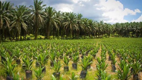 olio-di-palma-dietista-benacchio